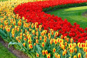 Beautiful red and yellow tulips.