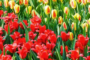 red and yellow tulips close-up