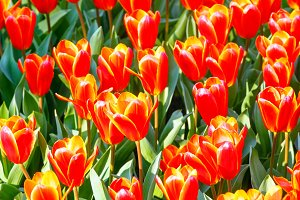 Spring yellow-red tulips close-up.