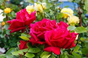 Red rose flowers closeup
