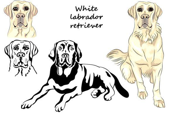 White Labrador retriever SET