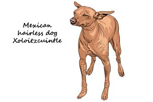 Mexican hairless dogs Xoloitzcuintle