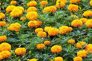 marigold flowers closeup
