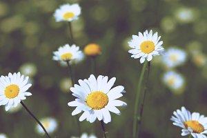 Summer Daisies