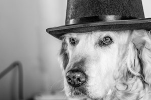 Golden Retriever with a hat