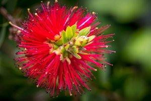 Floral background (Callistemon)