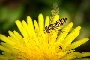 Drone-fly on a yellow flower
