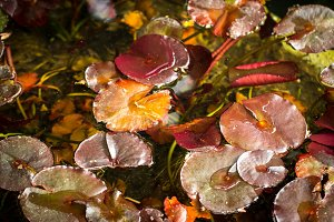 Leaves of a water lily