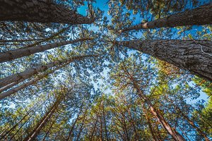 Worm 's eye view of a pine forest