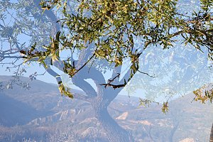 Double exposure almond branches