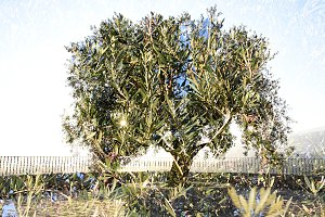 Double exposure of an olive tree