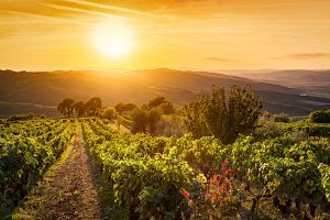 Vineyard at sunset, Tuscany, Italy.