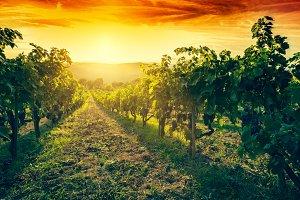 Vineyard in Tuscany, Italy.