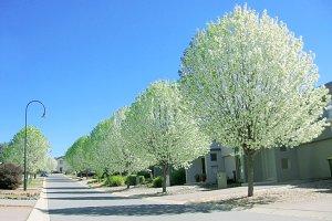 White poplar trees in spring