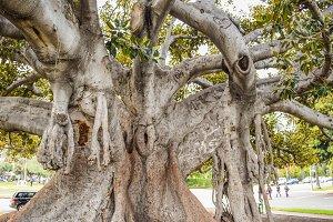 Beverly Gardens Park Bay Fig Ficus