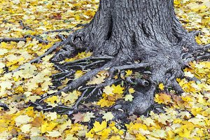 Tree roots covered with fall leaves