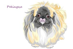 Sable Pekingese dog