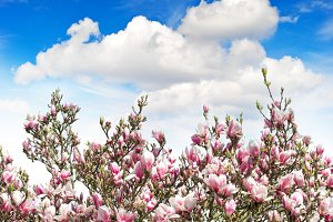 Magnolia tree over spring blue sky