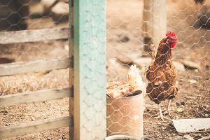 Organic chickens