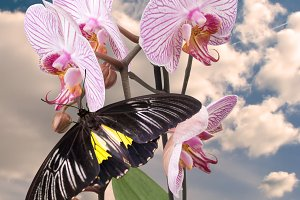 Black butterfly on orchid