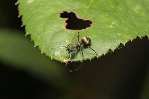Macro ant on a leaf