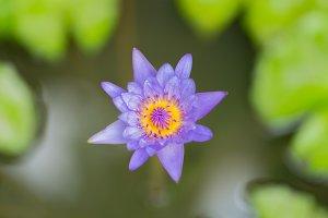 Blue lotus bloom