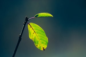 macro leafs