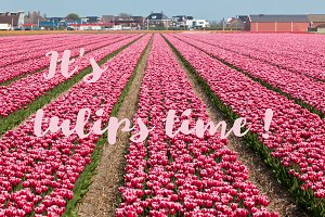 It s tulip time