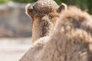 Back view of brown camel