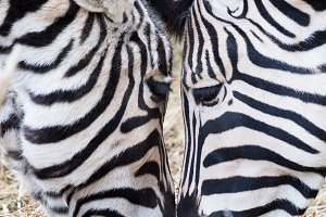 Close-up of two zebras eating grass