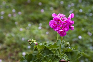 geranium plant with flower