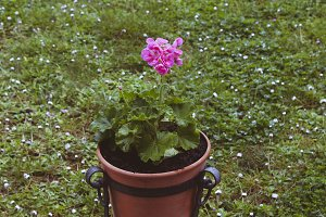 geranium plant with flower