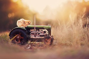 Baby Chick on a Tractor
