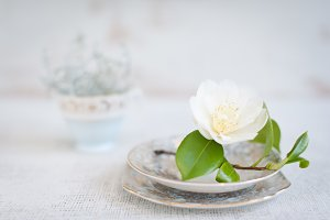 Spring Camellia Bloom Stock Image