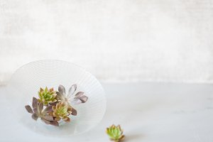 Mini Succulents Stock Image