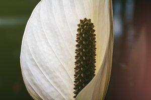 Flower of spathiphyllum