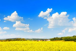 Rapeseed field over perfect blue sky