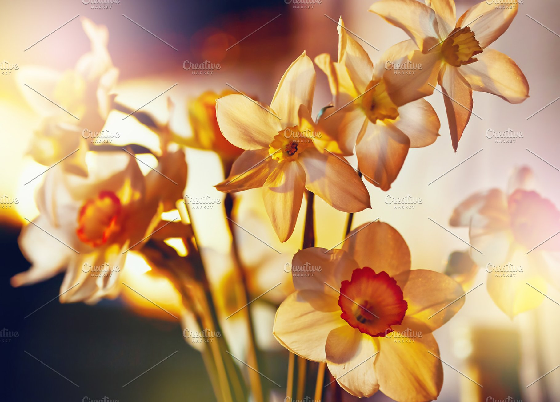 Spring Flowers Daffodils High Quality Nature Stock Photos
