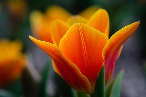 Orange tulip closeup