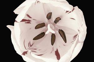 White tulip flower macro isolated
