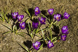 Flowers crocuses in spring sunny day