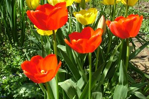 Yellow and Red Tulip Flowers