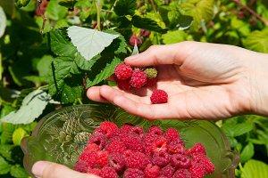 girl harvest raspberries