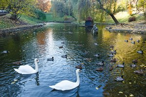 Pond with wild ducks and swans.