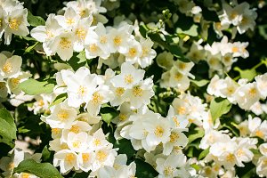 SALE! Flowering Jasmine