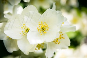 SALE! Flowering Jasmine Bush