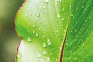 Fresh canna indica leaf with drops.