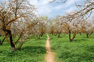 Almond Trees Path
