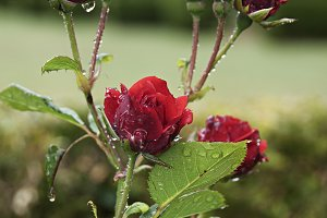 Red roses with raindrops