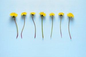 Dandelion flowers on blue background